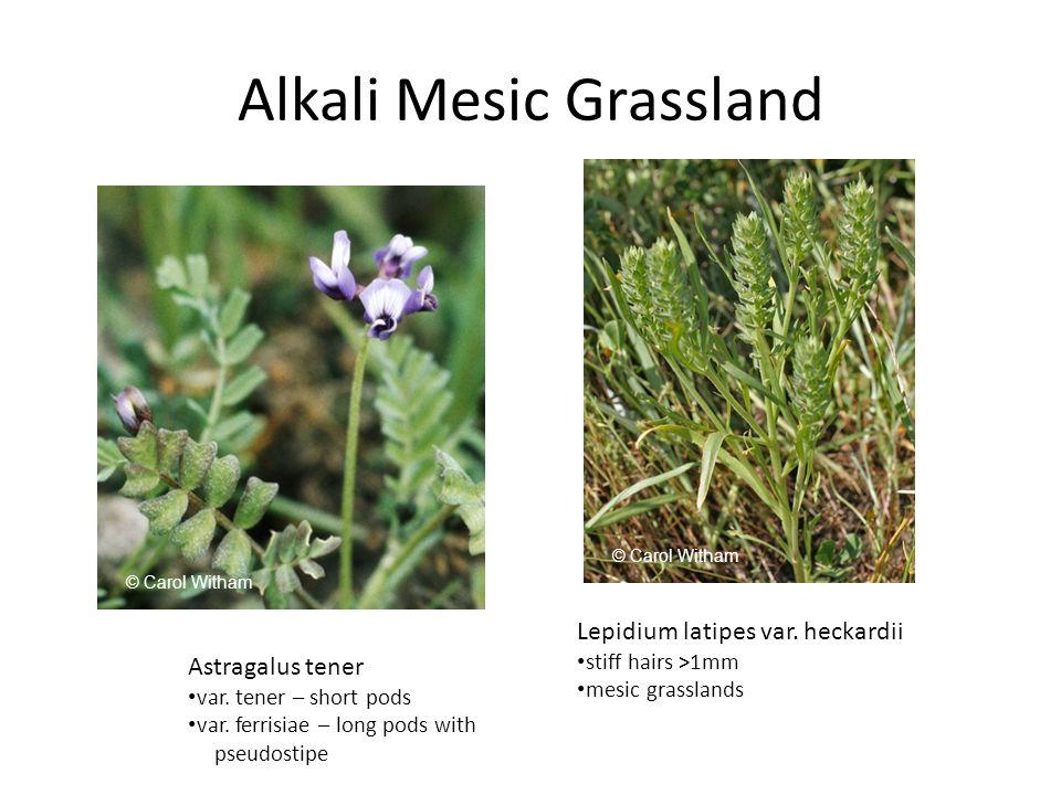 Alkali Mesic Grassland Astragalus tener var. tener – short pods var.