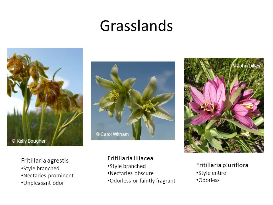 Grasslands Fritillaria agrestis Style branched Nectaries prominent Unpleasant odor Fritillaria liliacea Style branched Nectaries obscure Odorless or faintly fragrant Fritillaria pluriflora Style entire Odorless © Kelly Bougher © Carol Witham © John Dittes