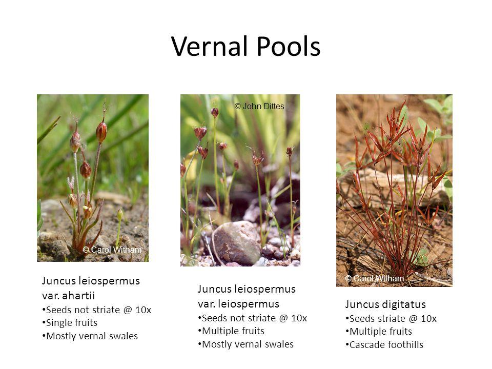 Vernal Pools Juncus leiospermus var.