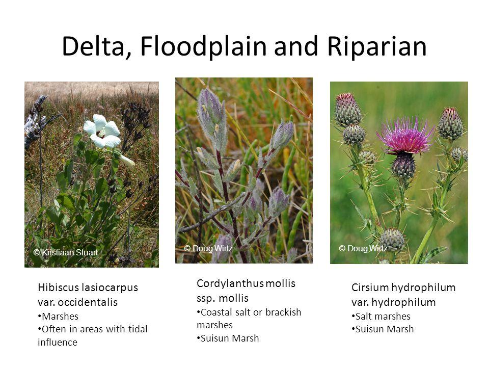 Delta, Floodplain and Riparian Hibiscus lasiocarpus var.