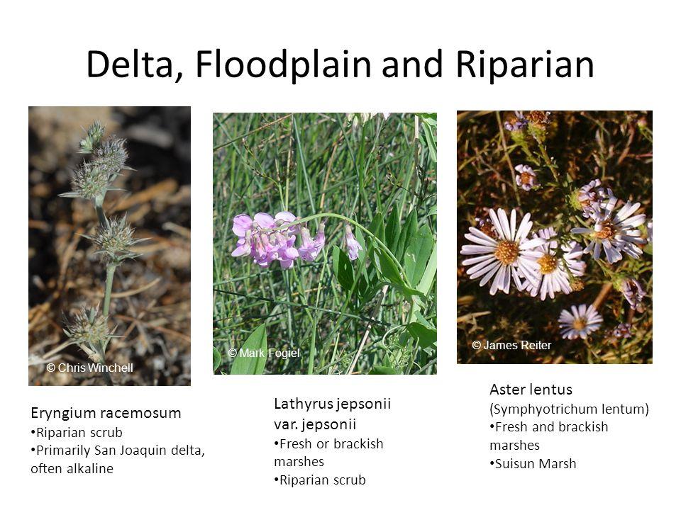 Delta, Floodplain and Riparian Eryngium racemosum Riparian scrub Primarily San Joaquin delta, often alkaline Lathyrus jepsonii var.