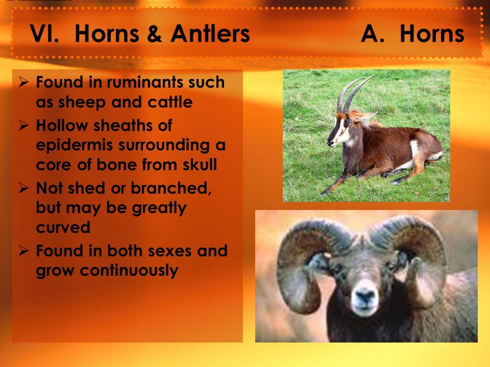VI. Horns & Antlers A.