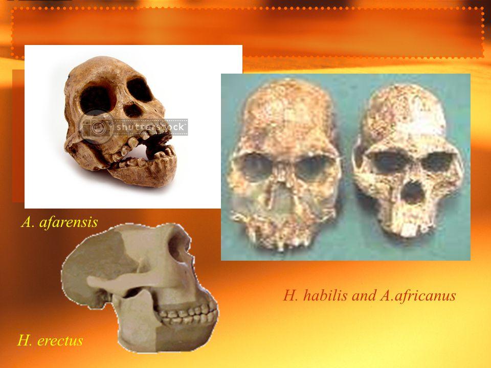 A. afarensis H. erectus H. habilis and A.africanus