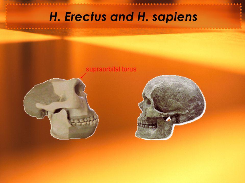H. Erectus and H. sapiens