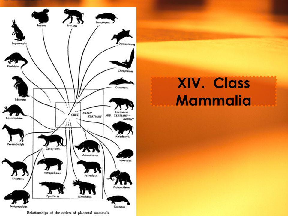 XIV. Class Mammalia
