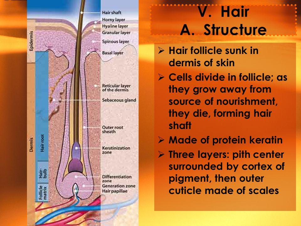 V. Hair A.