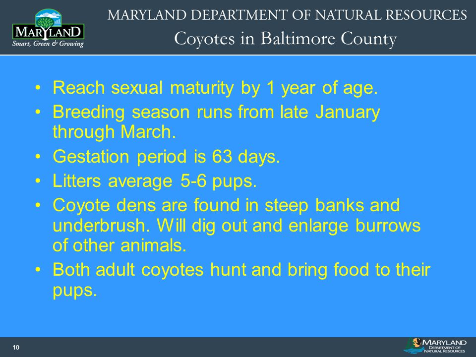Coyotes in Baltimore County 10 Reach sexual maturity by 1 year of age. Breeding season runs from late January through March. Gestation period is 63 da