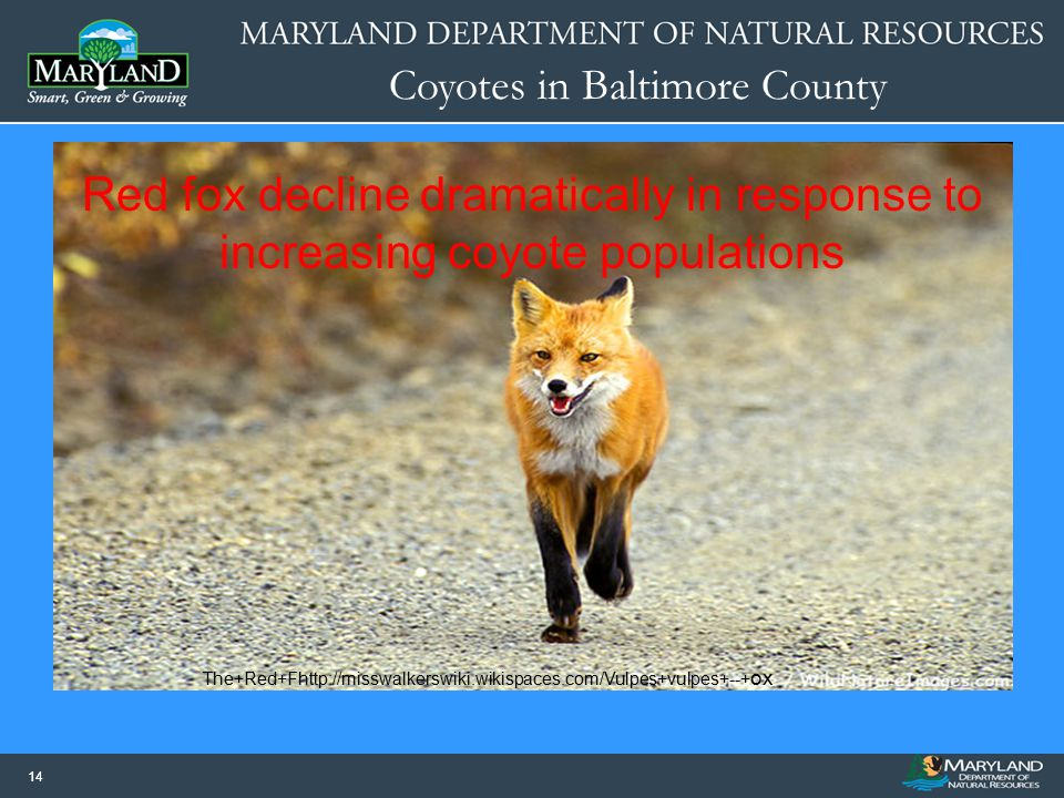 Coyotes in Baltimore County 14 The+Red+Fhttp://misswalkerswiki.wikispaces.com/Vulpes+vulpes+--+ ox Red fox decline dramatically in response to increas