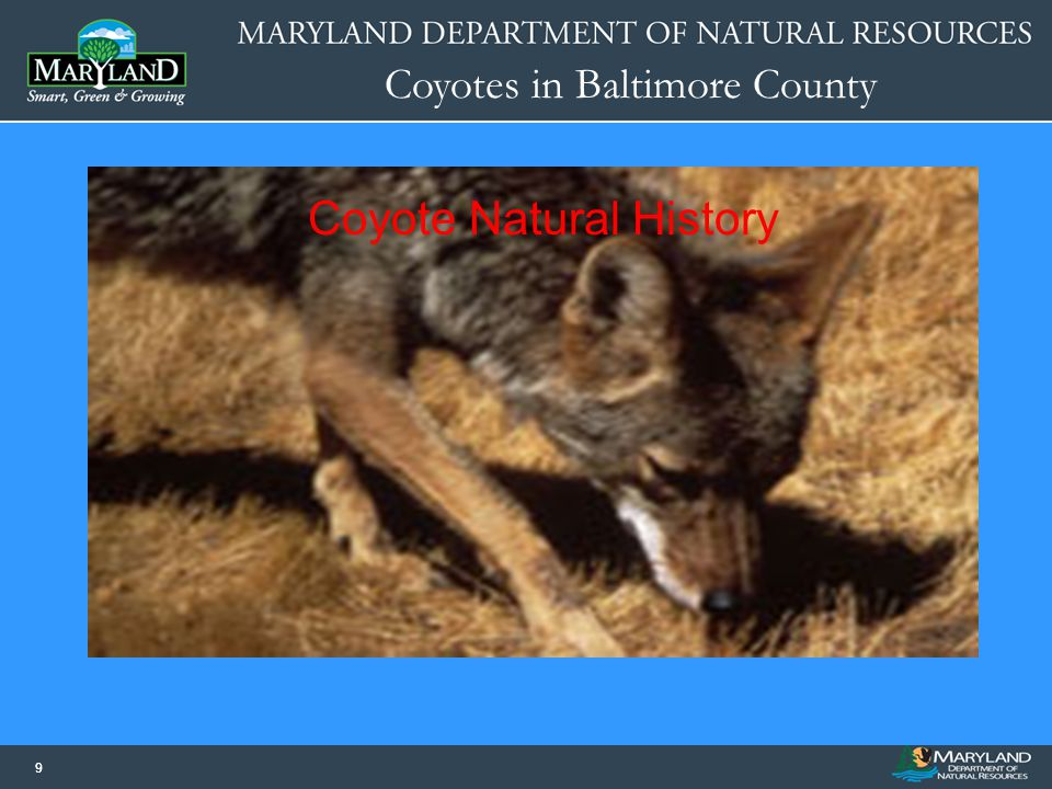 Coyotes in Baltimore County 10 Reach sexual maturity by 1 year of age.