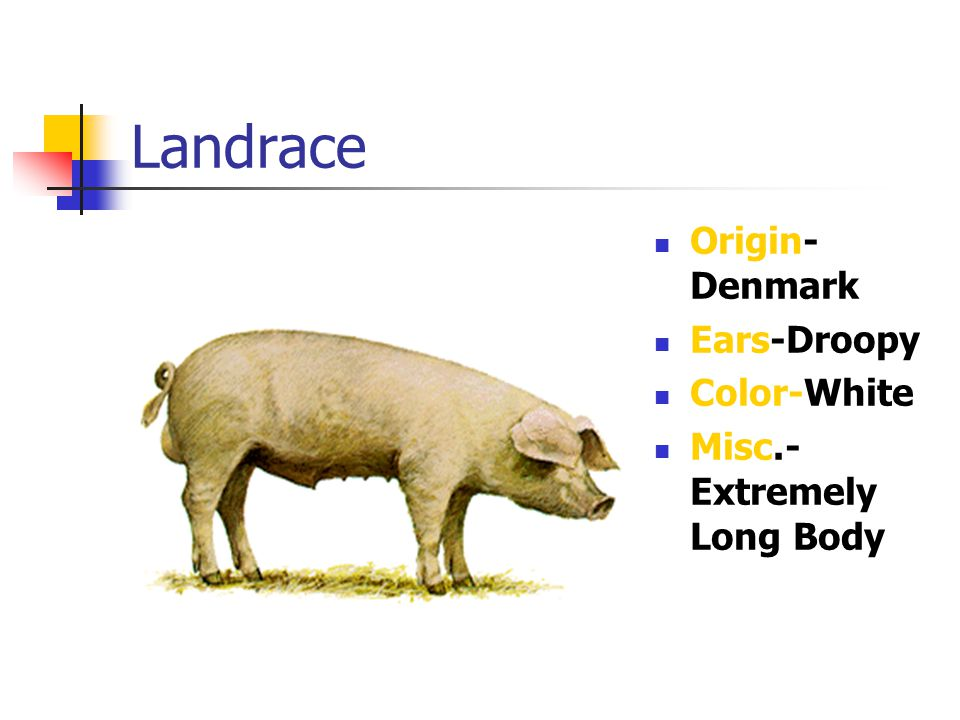 Landrace Origin- Denmark Ears-Droopy Color-White Misc.- Extremely Long Body