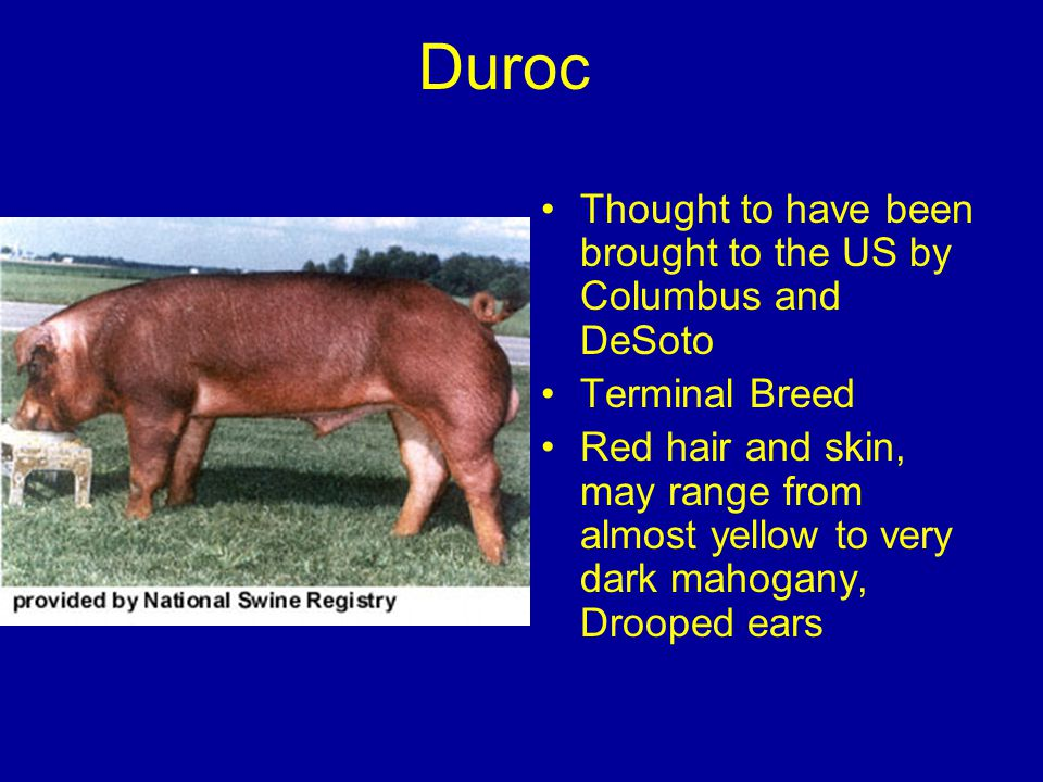 Duroc