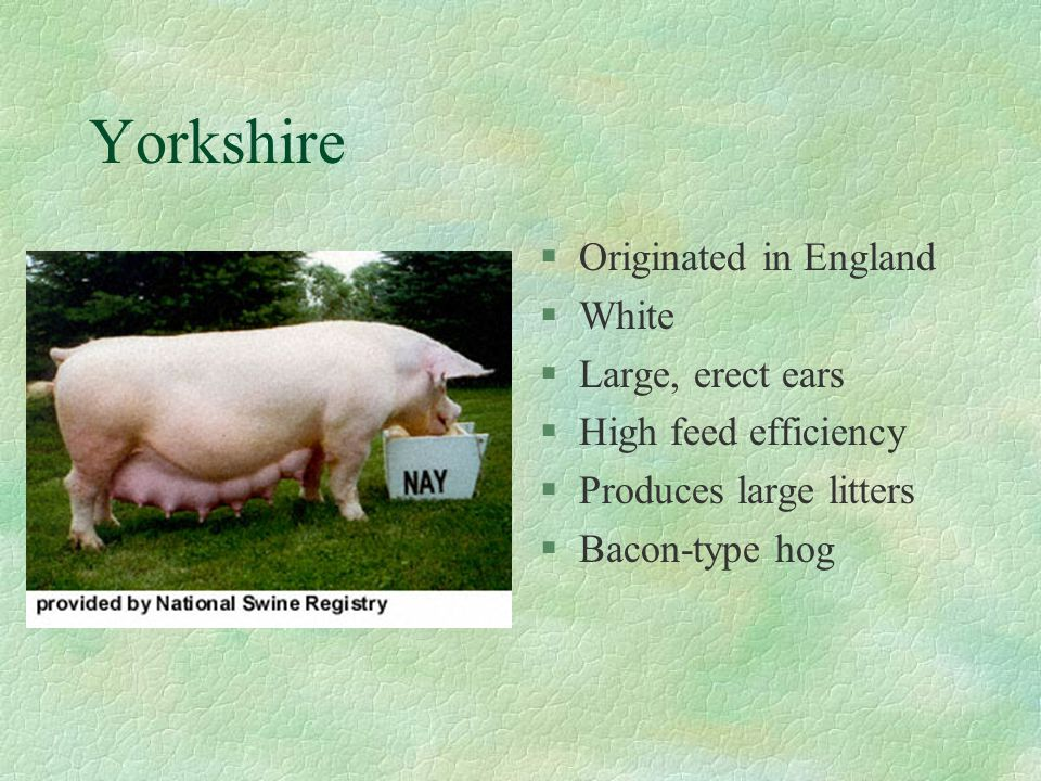Tamworth §Originated in Ireland §Red in color §Long head and snout §Good mothers §Foraging ability