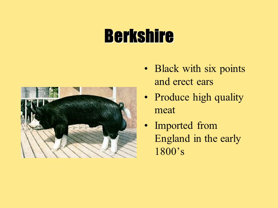 Berkshire Black with six points and erect ears Produce high quality meat Imported from England in the early 1800's