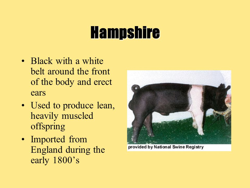 Hampshire Black with a white belt around the front of the body and erect ears Used to produce lean, heavily muscled offspring Imported from England during the early 1800's