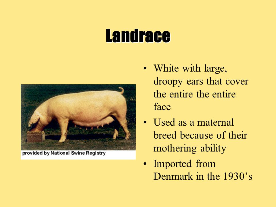 Landrace White with large, droopy ears that cover the entire the entire face Used as a maternal breed because of their mothering ability Imported from Denmark in the 1930's