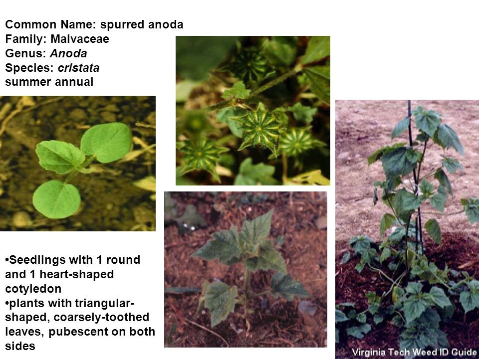 Common Name: spurred anoda Family: Malvaceae Genus: Anoda Species: cristata summer annual Seedlings with 1 round and 1 heart-shaped cotyledon plants with triangular- shaped, coarsely-toothed leaves, pubescent on both sides