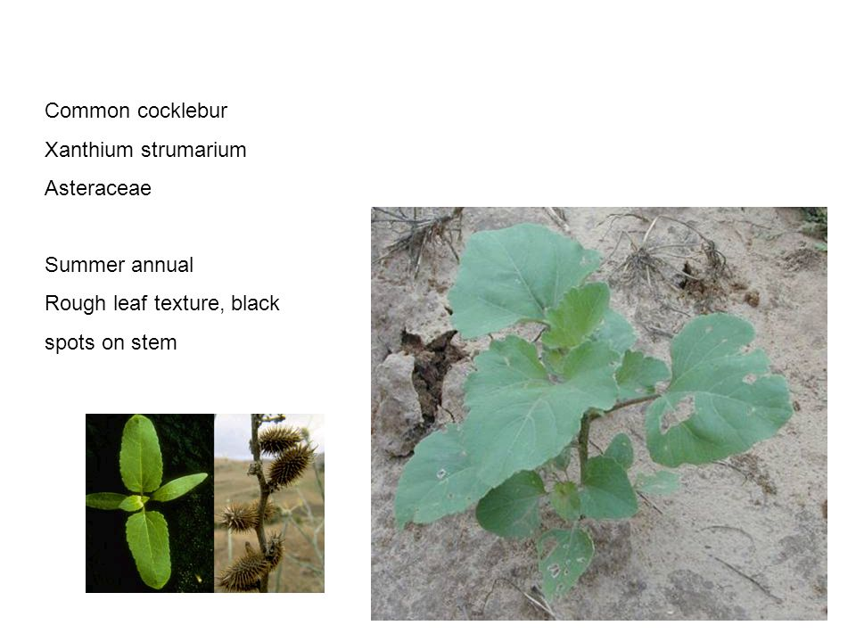 Chenopodium album Amaranthaceae Common lambsquarters Summer annual Purple-tint on stems, mealy texture on leaves, esp.