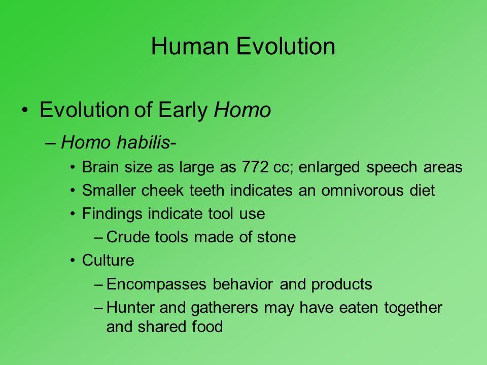 Human Evolution Evolution of Early Homo –Homo habilis- Brain size as large as 772 cc; enlarged speech areas Smaller cheek teeth indicates an omnivorou