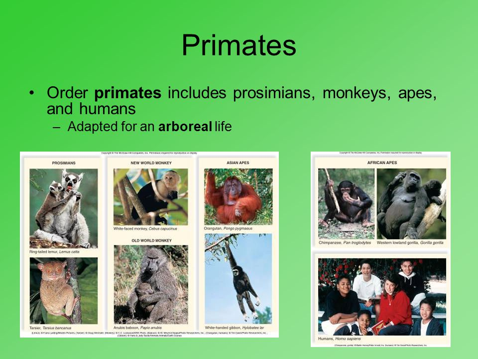 Primates Order primates includes prosimians, monkeys, apes, and humans –Adapted for an arboreal life