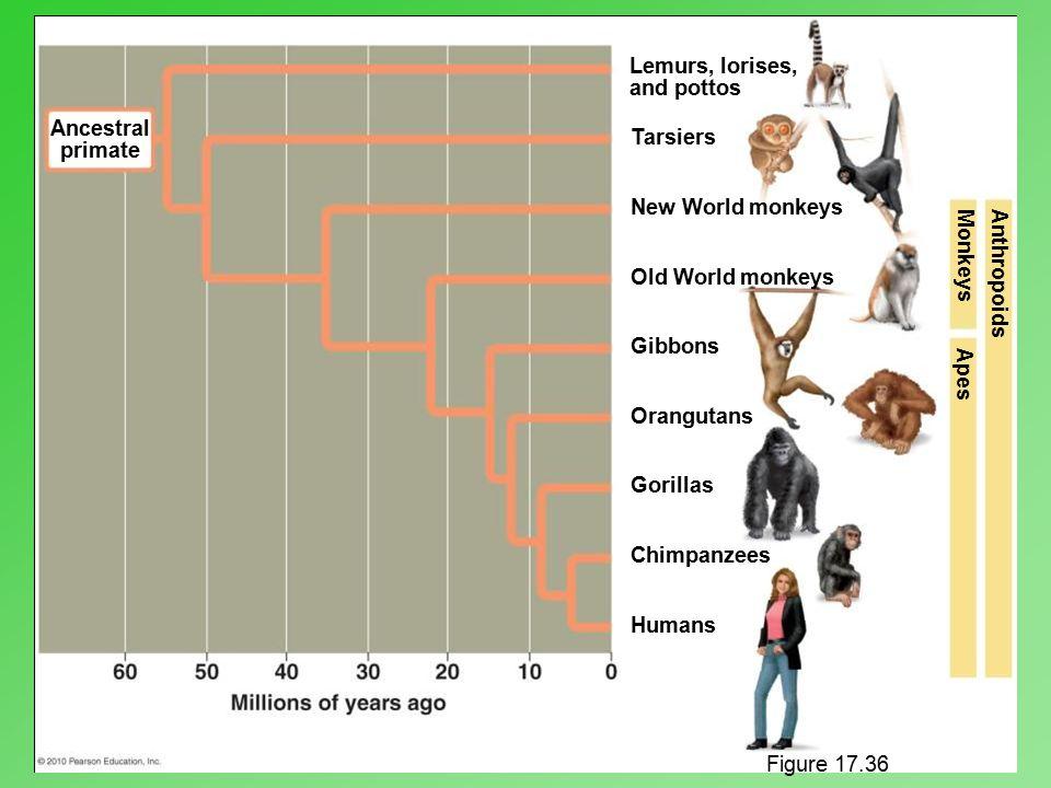 Ancestral primate Lemurs, lorises, and pottos Tarsiers New World monkeys Old World monkeys Gibbons Orangutans Gorillas Chimpanzees Humans AnthropoidsM
