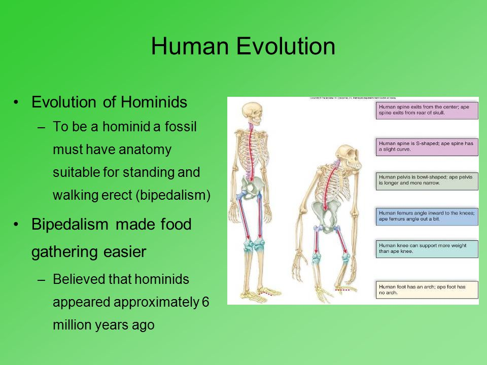 Human Evolution Evolution of Hominids –To be a hominid a fossil must have anatomy suitable for standing and walking erect (bipedalism) Bipedalism made