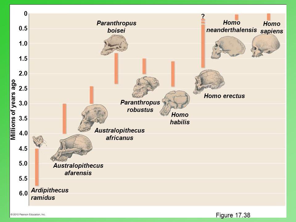 Ardipithecus ramidus Australopithecus afarensis Australopithecus africanus Paranthropus robustus Paranthropus boisei Homo neanderthalensis Homo sapien