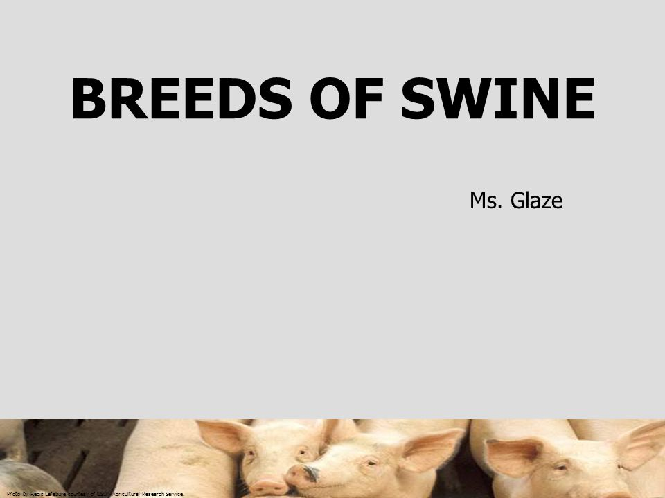 Photo by Regis Lefebure courtesy of USDA Agricultural Research Service. BREEDS OF SWINE Ms. Glaze