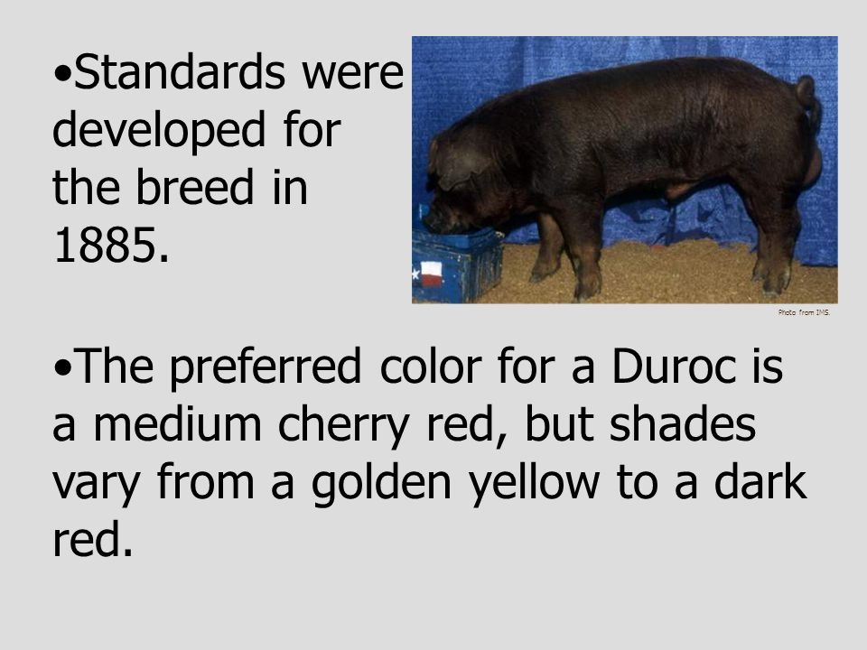 Standards were developed for the breed in 1885. The preferred color for a Duroc is a medium cherry red, but shades vary from a golden yellow to a dark