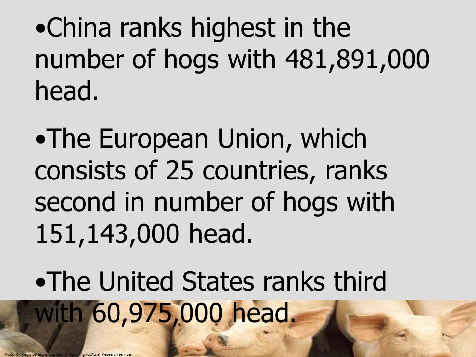 Photo by Regis Lefebure courtesy of USDA Agricultural Research Service. China ranks highest in the number of hogs with 481,891,000 head. The European