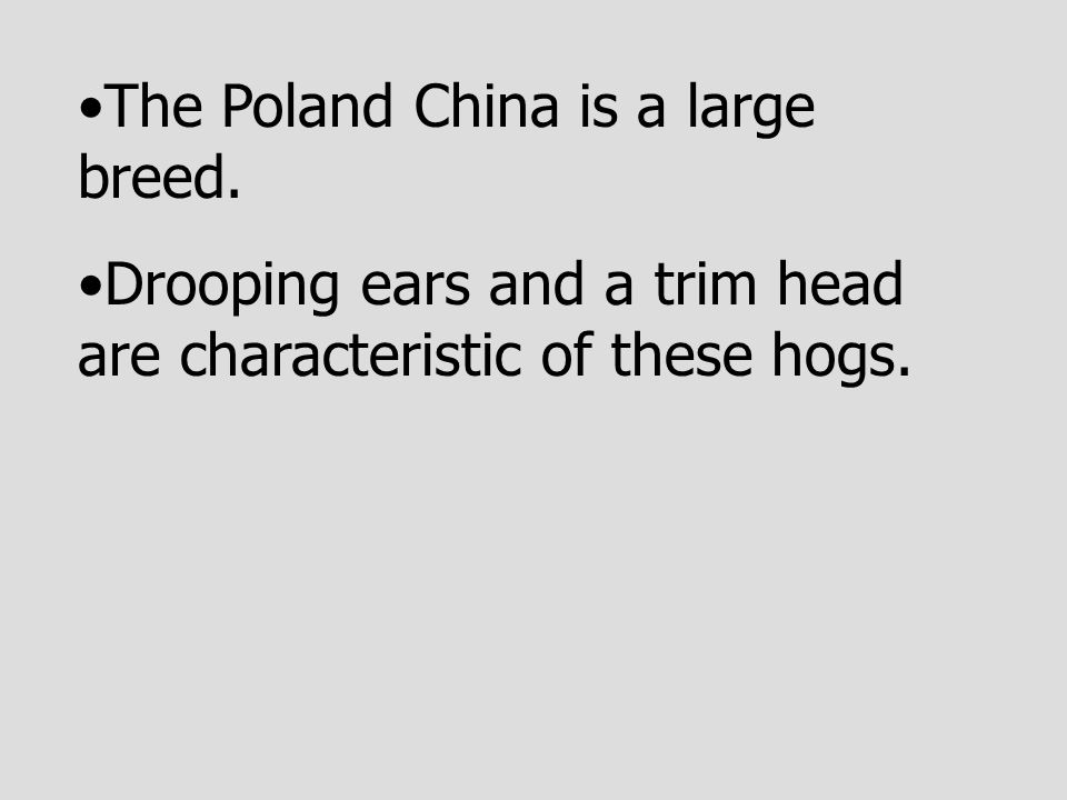 The Poland China is a large breed. Drooping ears and a trim head are characteristic of these hogs.