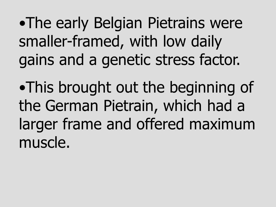 The early Belgian Pietrains were smaller-framed, with low daily gains and a genetic stress factor. This brought out the beginning of the German Pietra