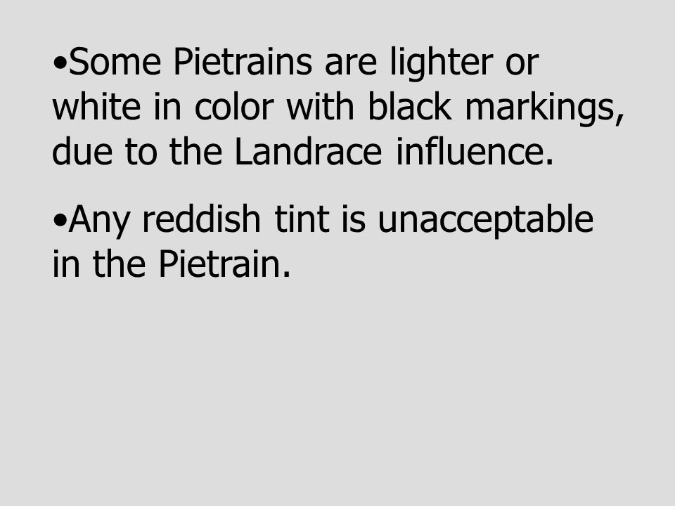 Some Pietrains are lighter or white in color with black markings, due to the Landrace influence. Any reddish tint is unacceptable in the Pietrain.