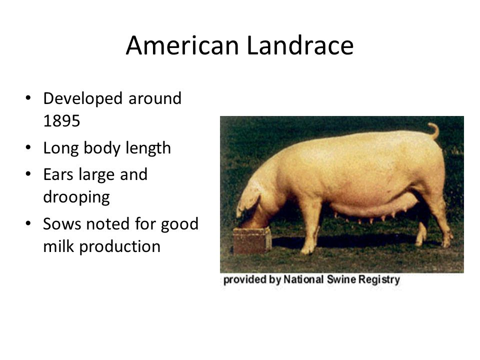 American Landrace Developed around 1895 Long body length Ears large and drooping Sows noted for good milk production