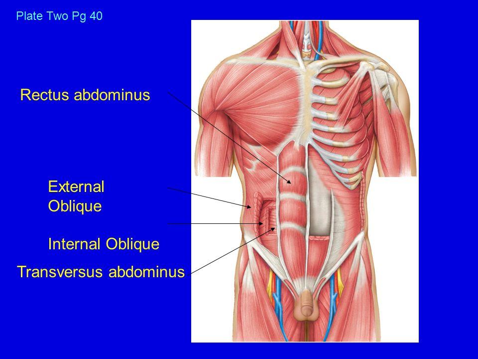 Rectus abdominus External Oblique Internal Oblique Transversus abdominus Plate Two Pg 40