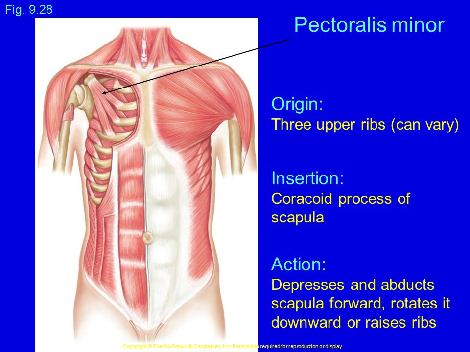 Fig. 9.28 Copyright © The McGraw-Hill Companies, Inc. Permission required for reproduction or display. Pectoralis minor Origin: Three upper ribs (can