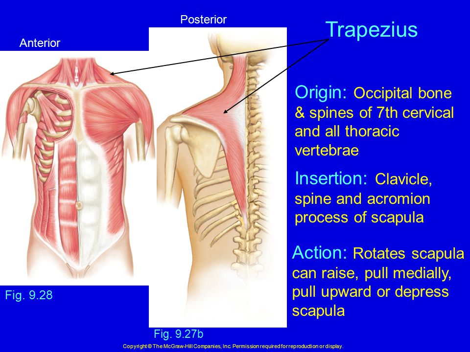 Fig. 9.27b Copyright © The McGraw-Hill Companies, Inc. Permission required for reproduction or display. Trapezius Fig. 9.28 Origin: Occipital bone & s