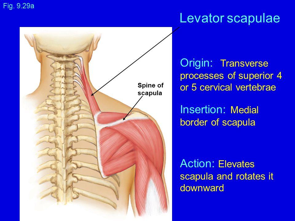 Fig. 9.29a Levator scapulae Spine of scapula Origin: Transverse processes of superior 4 or 5 cervical vertebrae Insertion: Medial border of scapula Ac