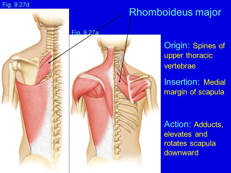Fig. 9.27a Fig. 9.27d Rhomboideus major Origin: Spines of upper thoracic vertebrae Insertion: Medial margin of scapula Action: Adducts, elevates and r