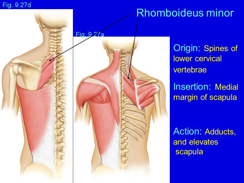 Fig. 9.27a Fig. 9.27d Rhomboideus minor Origin: Spines of lower cervical vertebrae Insertion: Medial margin of scapula Action: Adducts, and elevates s