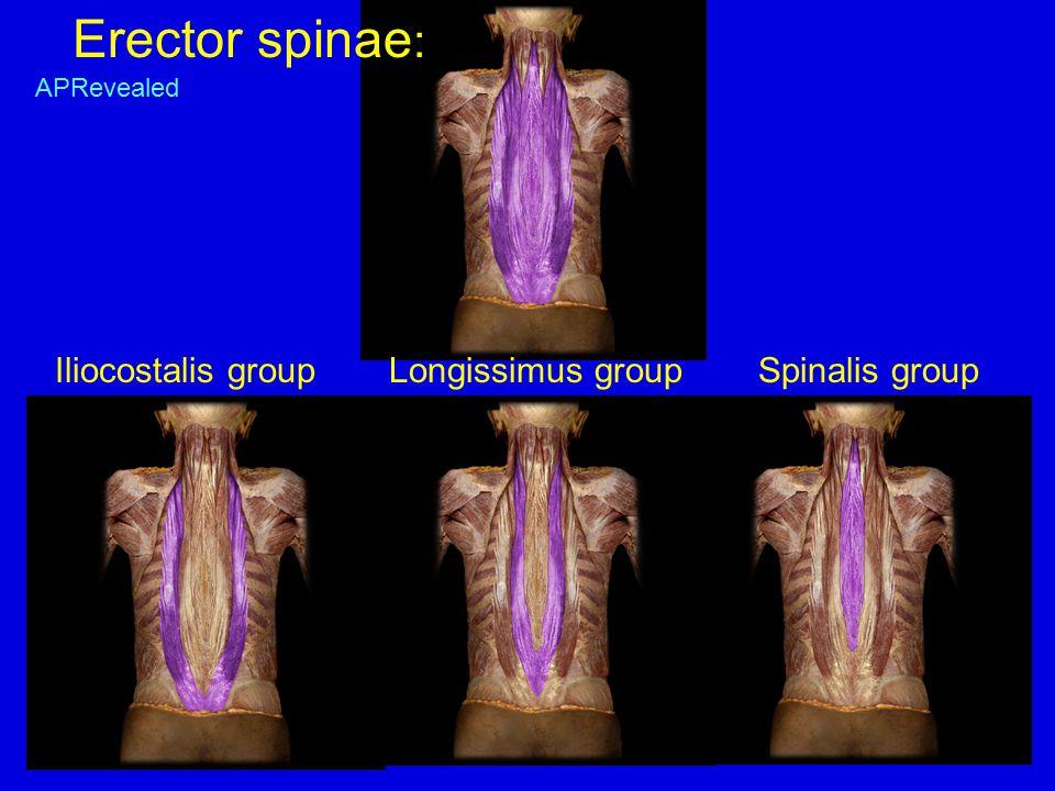 Erector spinae : Iliocostalis group Longissimus groupSpinalis group APRevealed