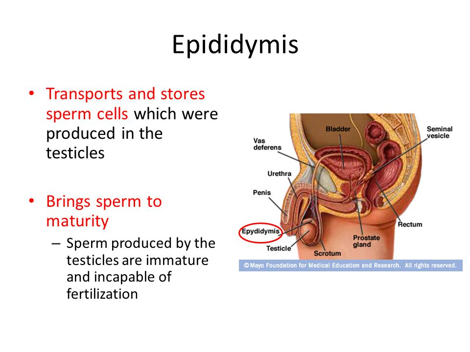 Epididymis Transports and stores sperm cells which were produced in the testicles Brings sperm to maturity – Sperm produced by the testicles are immat