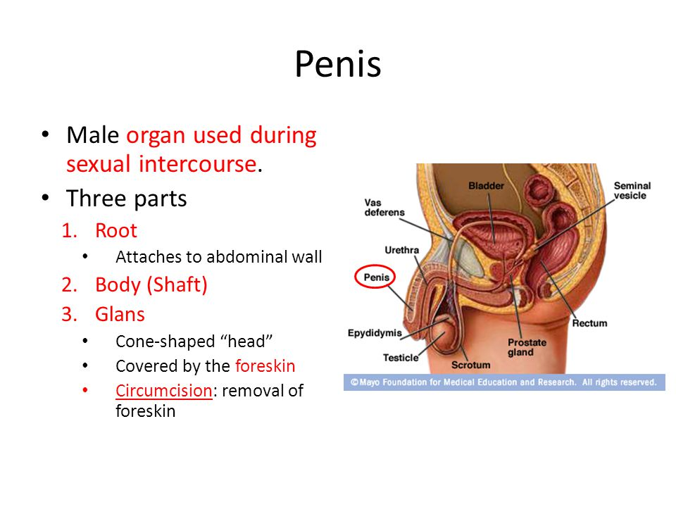 Penis The body of the penis is composed of three circular chambers – 2 Corpora Cavernosa – 1 Corpus Spongisum These tissues contain large spaces that become engorged with blood when the male is aroused.