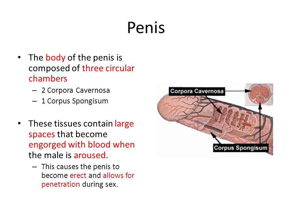 Penis The body of the penis is composed of three circular chambers – 2 Corpora Cavernosa – 1 Corpus Spongisum These tissues contain large spaces that