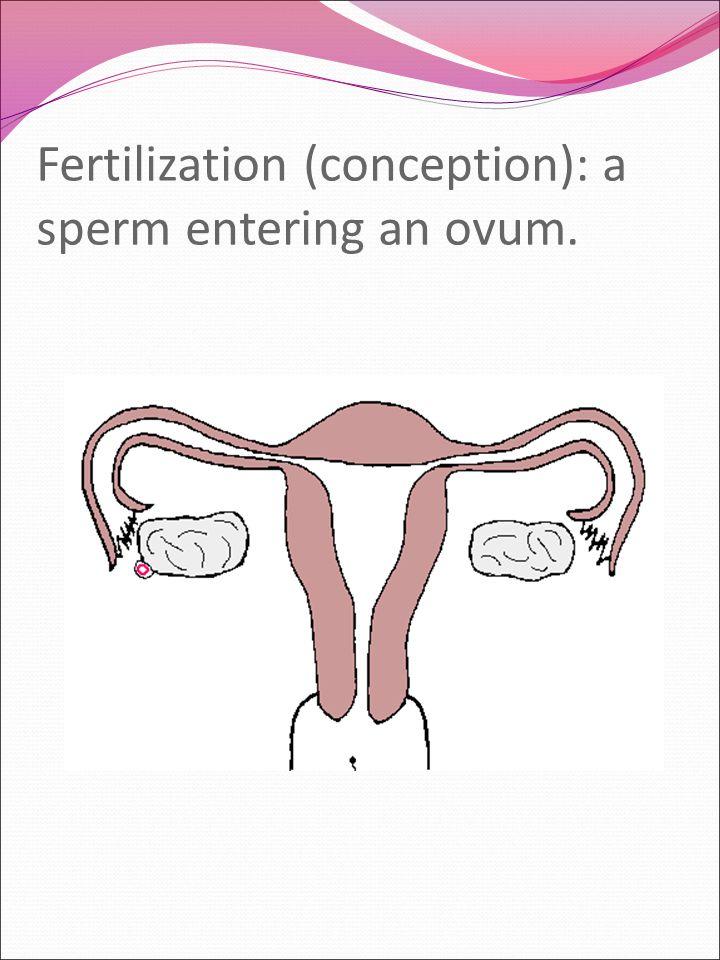 Fertilization (conception): a sperm entering an ovum.