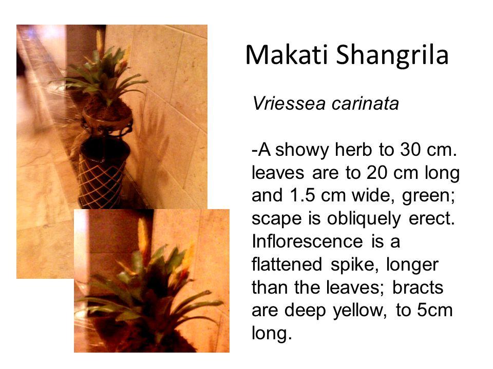 Vriessea carinata -A showy herb to 30 cm.