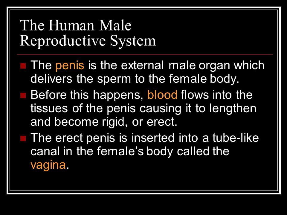 The Human Male Reproductive System Sperm cells leave the male body through a tube in the penis called the urethra.