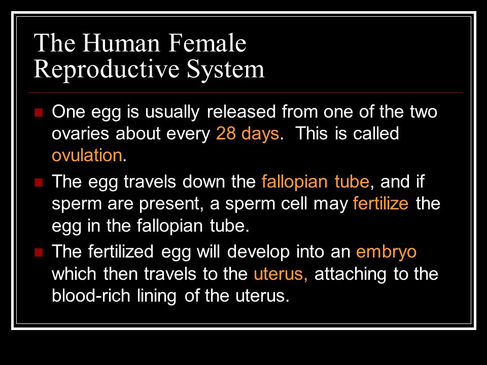 The Human Female Reproductive System If the egg is not fertilized, it will pass out of the female body.