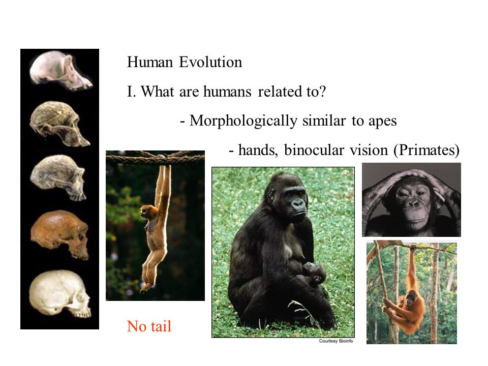 Human Evolution I. What are humans related to.