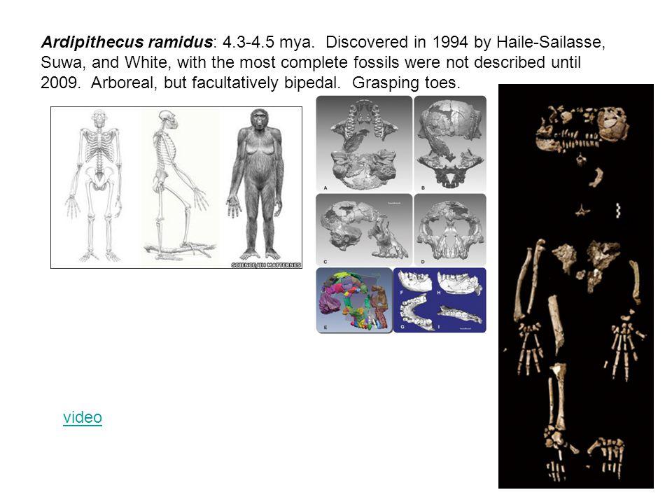 Ardipithecus ramidus: 4.3-4.5 mya.