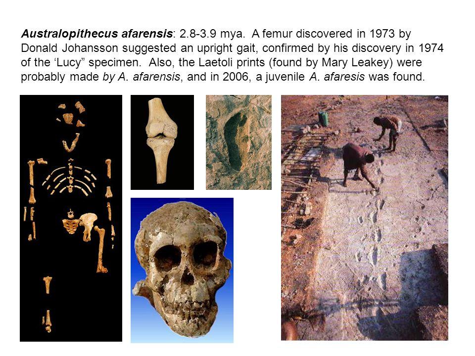 Australopithecus afarensis: 2.8-3.9 mya.